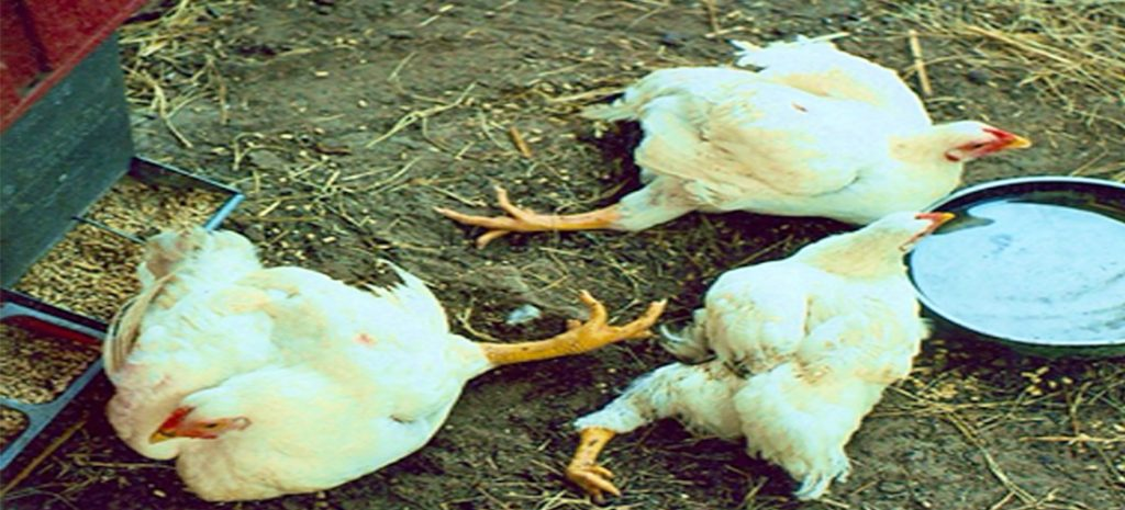 infection in Broilers
