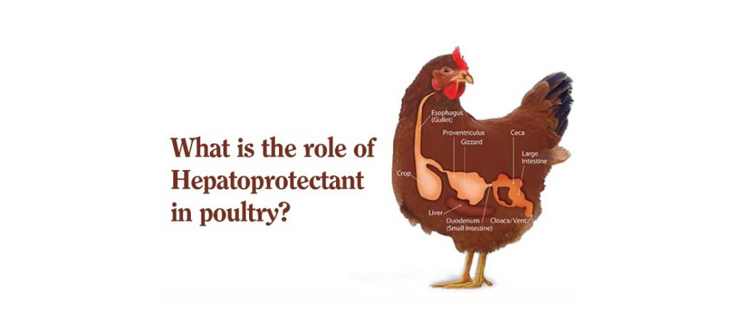 What is the role of Hepatoprotectant in poultry?