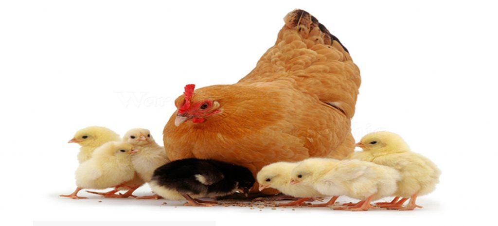 All We Need To Know About Methionine Requirements in Chickens