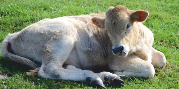 newborn calves and colostrum management, why is it necessary?
