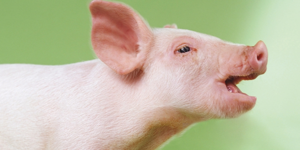 The Fundamentals of Swine Respiratory Diseases, You Should Know!