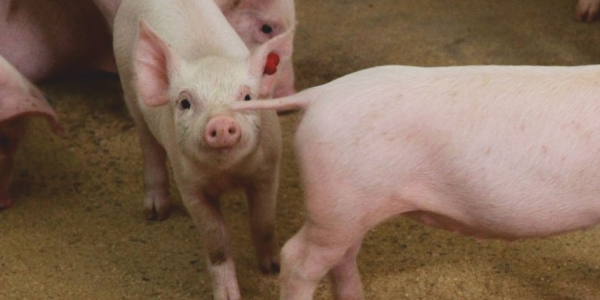 Tail Biting: A Disastrous Behavioral Vice in Swine